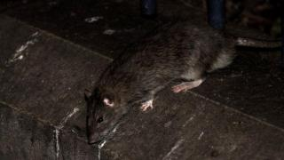 New York Diserang Wabah Leptospirosis, Menular Lewat Kencing Tikus